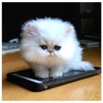 Warning: Toy or Teacup Persian Kittens