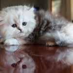 Silver Patched Tabby & white Persian kitten Viper (Adopted!)
